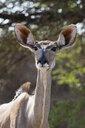 Portrait of female Greater kudu (Tragelaphus strepsiceros), Kalahari, Botswana, Africa - ISF04696