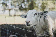 Portrait of sheep looking out from wire fence - ISF04717