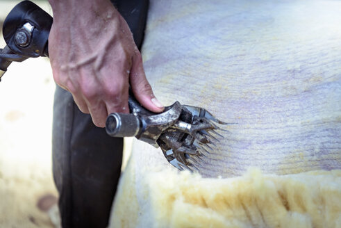 Close up of sheep shearer using electric shears to remove wool from sheep - ISF05030