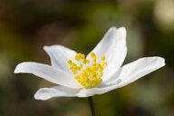 Wood anemone - WIF03514