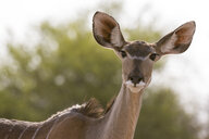 Portrait of female Greater kudu (Tragelaphus strepsiceros), Kalahari, Botswana, Africa - ISF06165