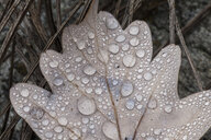 Cropped close up of dew on autumn oak leaf - CUF13513