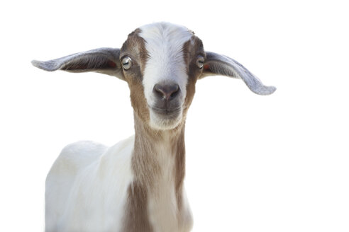 Studio portrait of cute goat against white background - ISF06871