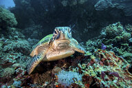 Rare green sea turtle (Chelonia Mydas), swimming in open ocean, Moalboal, Cebu, Philippines - CUF18895
