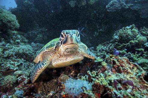 Rare green sea turtle (Chelonia Mydas), swimming in open ocean, Moalboal, Cebu, Philippines - CUF18895