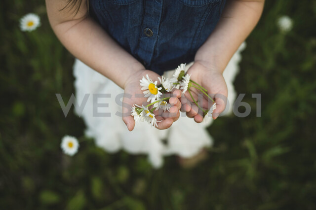 Overhead view of girl's hands holding daisy flowers - CUF20151