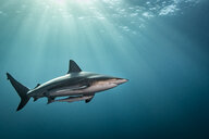 Oceanic Blacktip Shark (Carcharhinus Limbatus) swimming near surface of ocean, Aliwal Shoal, South Africa - CUF20184