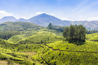 Tea plantation, Kerala, India - CUF20196
