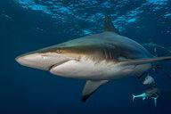 Oceanic Blacktip Shark (Carcharhinus Limbatus) circling prey, Aliwal Shoal, South Africa - CUF20208