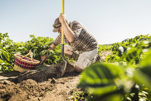 Man holding spade kneeling in vegetable garden harvesting fresh vegetables - CUF20296