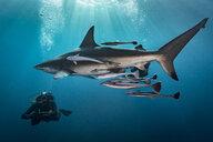 Large Oceanic Blacktip Shark (Carcharhinus Limbatus) circling diver, Aliwal Shoal, South Africa - CUF21109