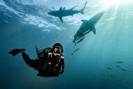 Diver surrounded by Oceanic Blacktip Sharks (Carcharhinus Limbatus) near surface of ocean, Aliwal Shoal, South Africa - CUF21112