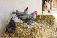 Farm animals on hay - ZEF15570