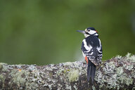 Scotland, Great spotted woodpecker perching on tree trunk - MJOF01504