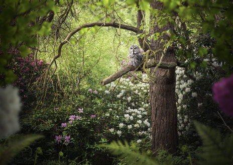 Grey coloured owl perched in forest tree - CUF22027
