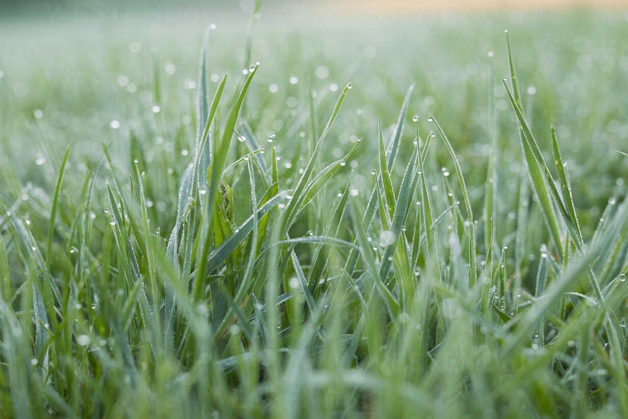 Morning dew on grass - PNEF00638 - Philipp Nemenz/Westend61