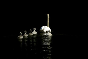 Back view of swimming mute swan and five cygnets - JTF01006