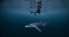 Underwater view of diver swimming above shark, San Diego, California, USA - CUF23025