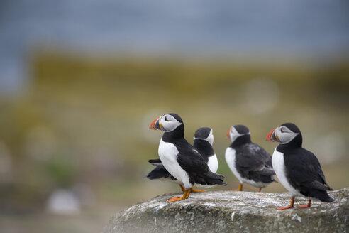 Atlantic puffins, Fratercula arctica - MJOF01507
