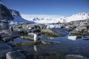 Antarctic, Antarctic Peninsula, Gentoo penguins, Pygoscelis papua - CVF00675