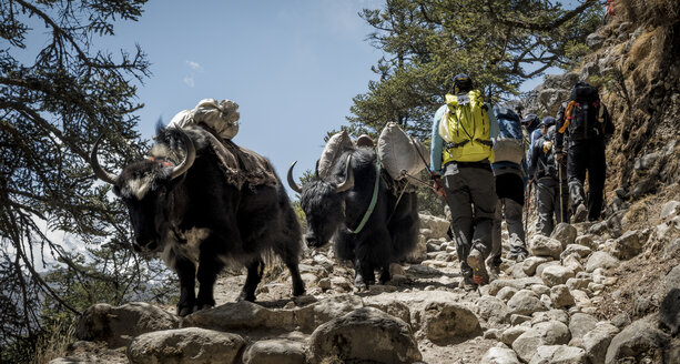 Nepal, Solo Khumbu, Everest, Sagamartha National Park, Mountaineers walking on dirt track with yaks - ALRF01256