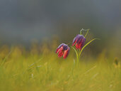 Snake's Head Fritillary on a meadow at morning light - BSTF00125