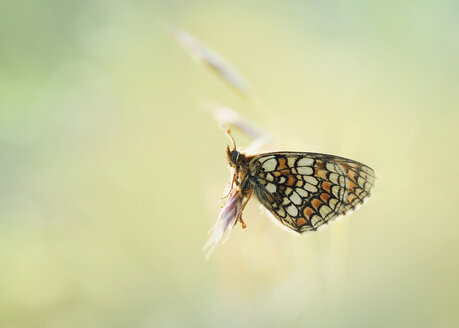 Heath Fritillary butterfly on blossom - BSTF00128