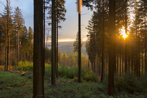 Germany, Bavaria, coniferous forest at sunset - MMAF00375