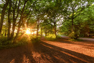 United Kingdom, Scotland, East Lothian, Yellowcraigs, sun beams through trees at sunset - SMAF01015