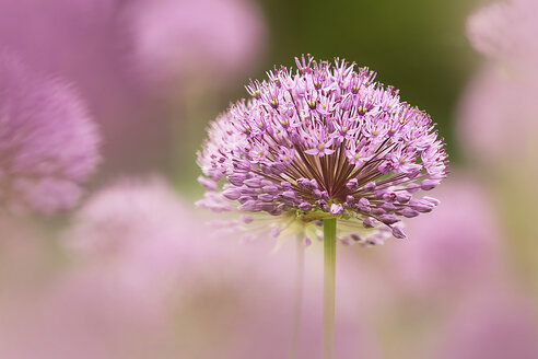 Great lilac-purple spherical allium, Allium hollandicum - BSTF00131