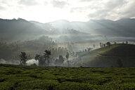 Tea plantation at dawn, Kerala, India - CUF31015