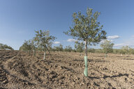 Spain, plantation of olive trees during spring - JASF01889
