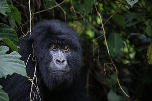 Africa, Democratic Republic of Congo, Mountain gorilla, silverback in jungle - REAF00293