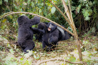 Africa, Democratic Republic of Congo, Young mountain gorillas playing in jungle - REAF00296