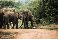 Uganda, Kigezi National Park, Young elephants playing together - REAF00314