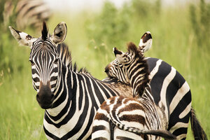 Uganda, Kigezi National Park, Zebra mare with foal - REAF00317