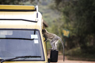 Uganda, Queen Elisabeth National Park, Curious vervet monkey climing on off-road vehicle - REAF00323