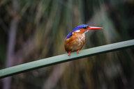 Uganda, Lake Victoria, Azure kingfisher perching on branch - REAF00326