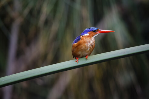 Uganda, Lake Victoria, Azure kingfisher perching on branch - REAF00326