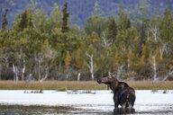 USA, Alaska, Denali National Park, elk cow in a lake - CVF00819