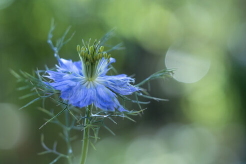 Love-in-a-mist - BSTF00135