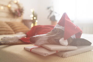 Greyhound wearing red pullover and Santa hat lying on bed with Christmas presents - SKCF00507