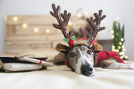Portrait of Greyhound wearing deer antler headband - SKCF00510