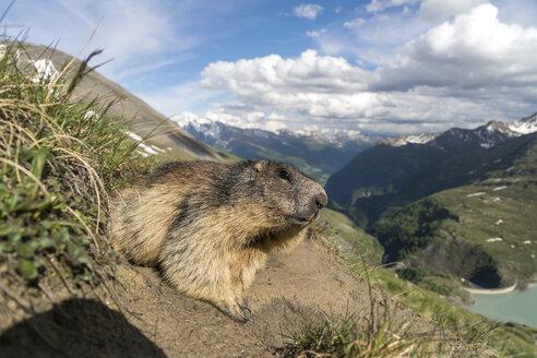 Austria, High Tauern National Park, marmot - PCF00387
