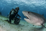 Underwater view of scuba diver on seabed feeding tiger shark, Tiger Beach, Bahamas - ISF11710