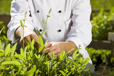 Cook pulling off herbs from plant - CVF00849