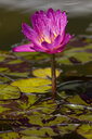 Pink Water lily - WIF03528