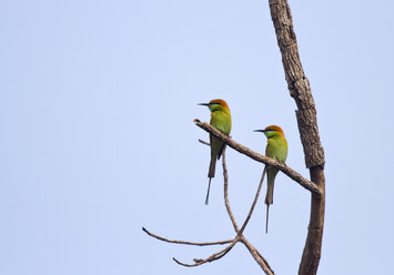Thailand, Chiang Dao, Green bee-eaters, Merops orientalis - ZC00636