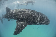 High angle side view of Whale Shark (Rhincodon Typus) Contoy Island, Quintana Roo, Mexico - ISF13304
