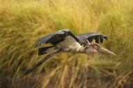 Marabou stork - Leptoptilos crumeniferus, Mana Pools National Park, Zimbabwe - CUF34493